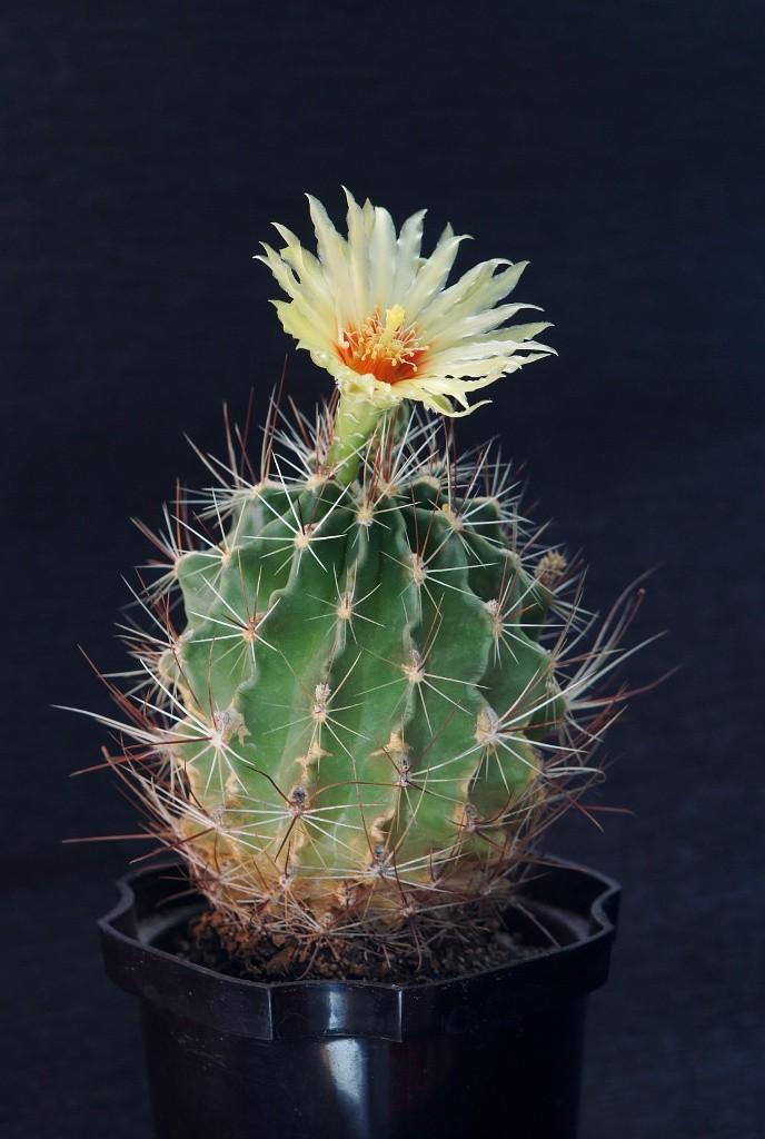 какие бутоны у кактусов фото музей часто приходят